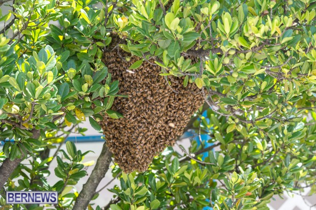 bees-in-bermuda-sept-4-2014-02
