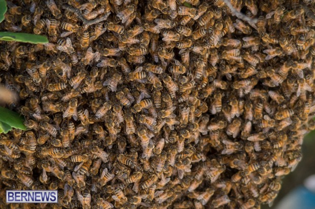 bees-in-bermuda-sept-4-2014-03