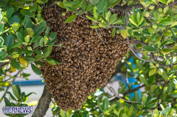 bees-in-bermuda-sept-4-2014-04
