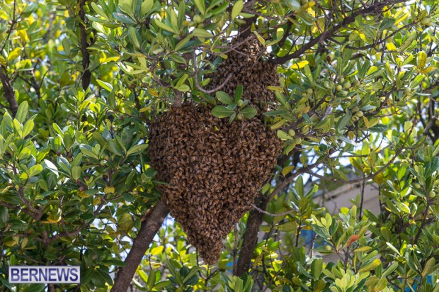 bees-in-bermuda-sept-4-2014-06