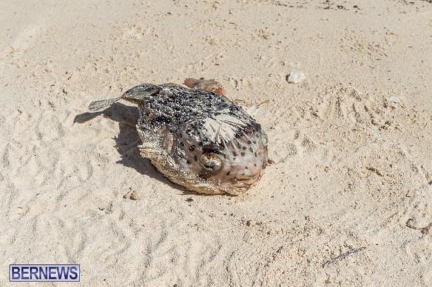 dead fish on bermuda beach after hurricane gonzalo