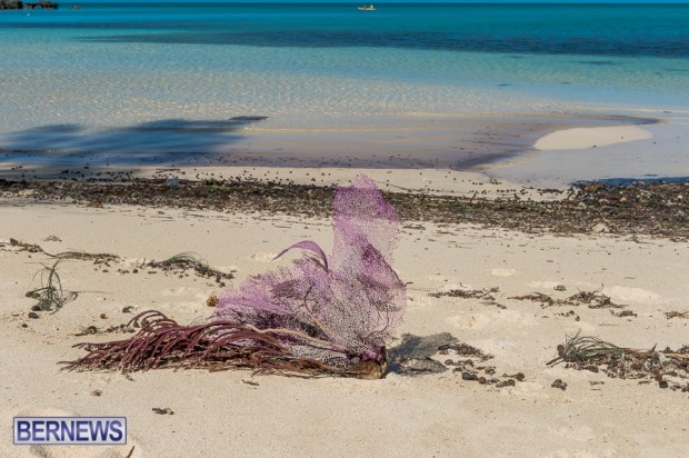 sea fan on bermuda beach after gonzalo