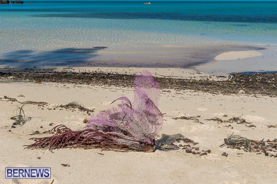 sea-fan-on-bermuda-beach-after-gonzalo