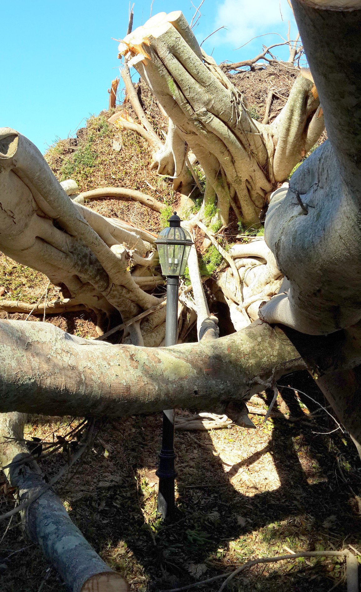 tree afyer Gonzalo