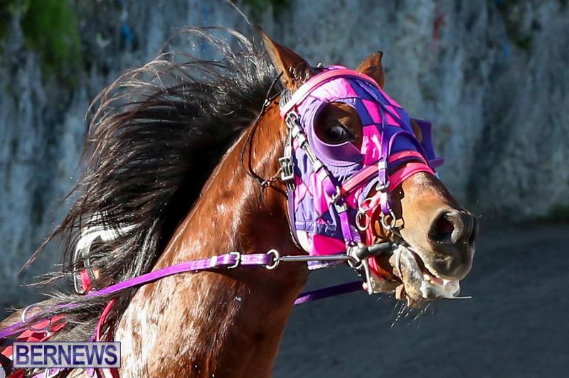 Harness-Pony-Racing-Bermuda-January-1-2015-2
