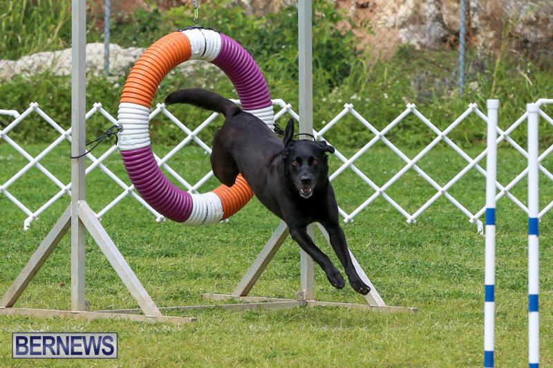 Dog-Agility-Trials-Bermuda-March-28-2015-103