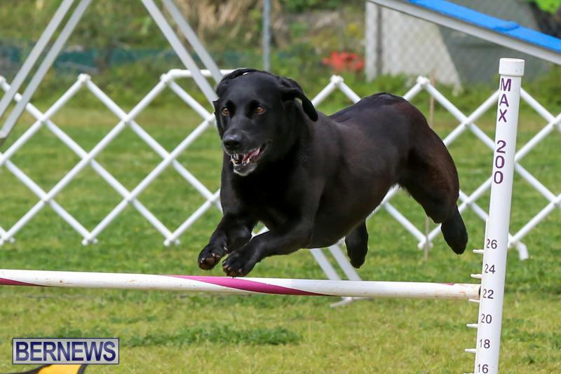 Dog-Agility-Trials-Bermuda-March-28-2015-104