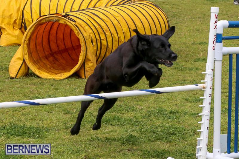 Dog-Agility-Trials-Bermuda-March-28-2015-106
