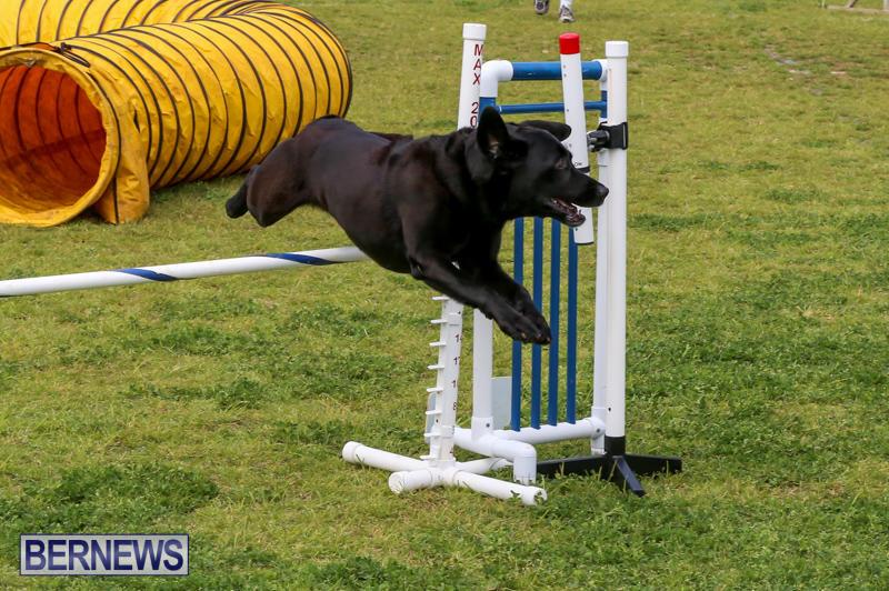 Dog-Agility-Trials-Bermuda-March-28-2015-107