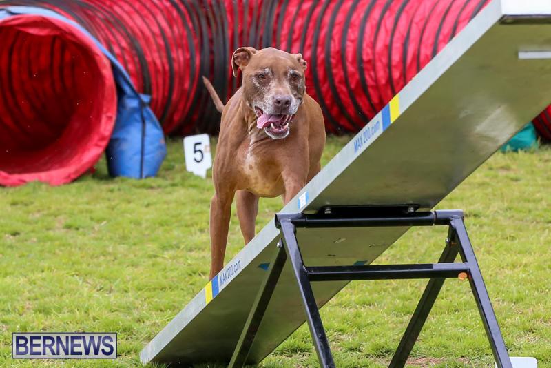 Dog-Agility-Trials-Bermuda-March-28-2015-115