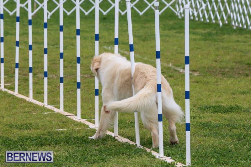 Dog-Agility-Trials-Bermuda-March-28-2015-12