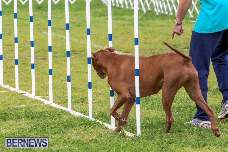 Dog-Agility-Trials-Bermuda-March-28-2015-120