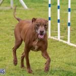 Dog Agility Trials Bermuda, March 28 2015-122