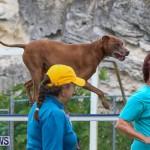 Dog Agility Trials Bermuda, March 28 2015-124