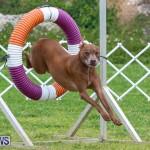 Dog Agility Trials Bermuda, March 28 2015-126