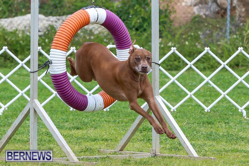 Dog-Agility-Trials-Bermuda-March-28-2015-126
