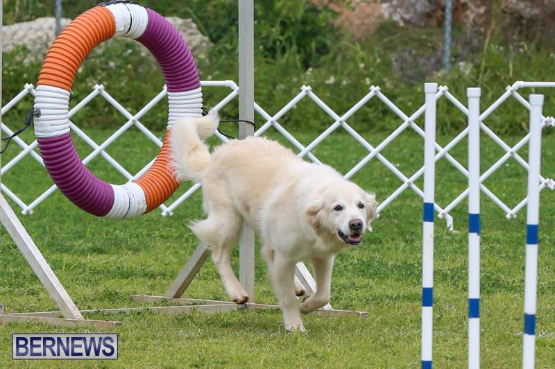 Dog-Agility-Trials-Bermuda-March-28-2015-18
