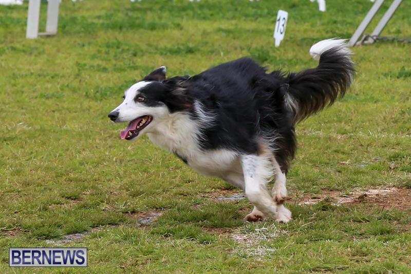 Dog-Agility-Trials-Bermuda-March-28-2015-24