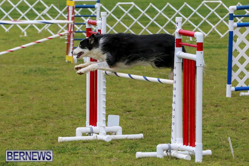 Dog-Agility-Trials-Bermuda-March-28-2015-25