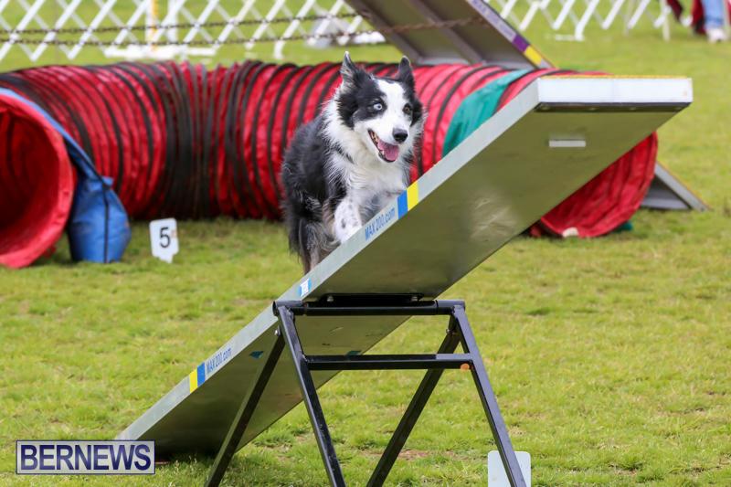 Dog-Agility-Trials-Bermuda-March-28-2015-27