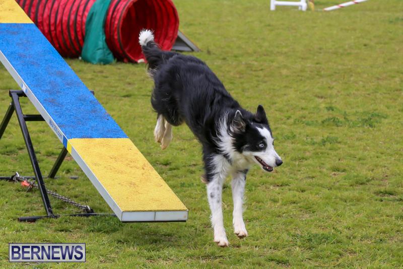 Dog-Agility-Trials-Bermuda-March-28-2015-30