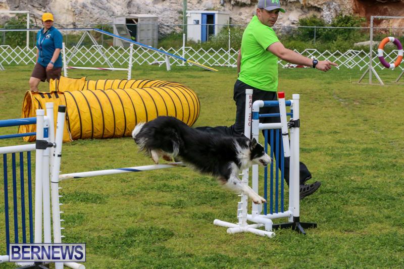 Dog-Agility-Trials-Bermuda-March-28-2015-31