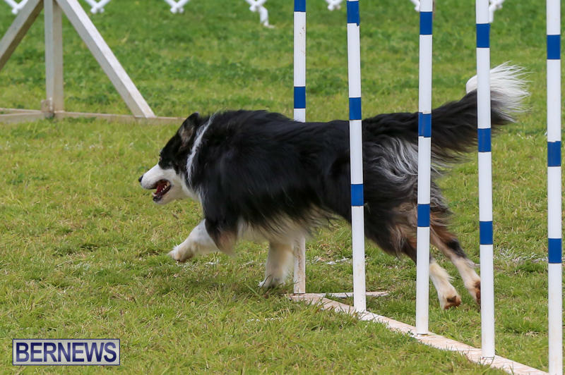 Dog-Agility-Trials-Bermuda-March-28-2015-34
