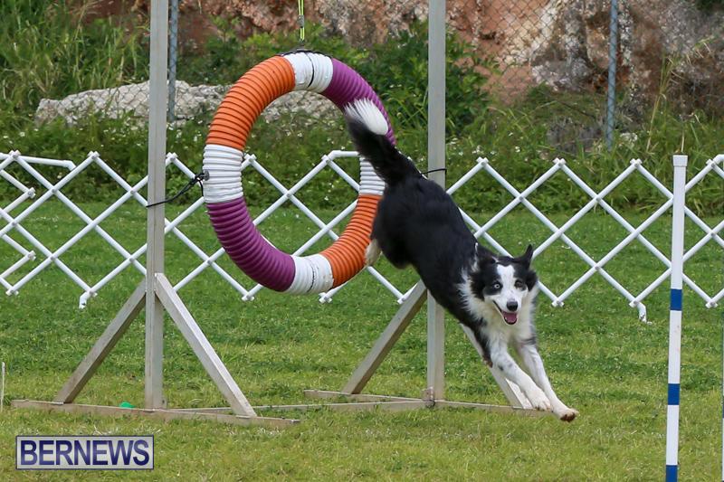 Dog-Agility-Trials-Bermuda-March-28-2015-41
