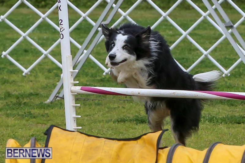Dog-Agility-Trials-Bermuda-March-28-2015-42