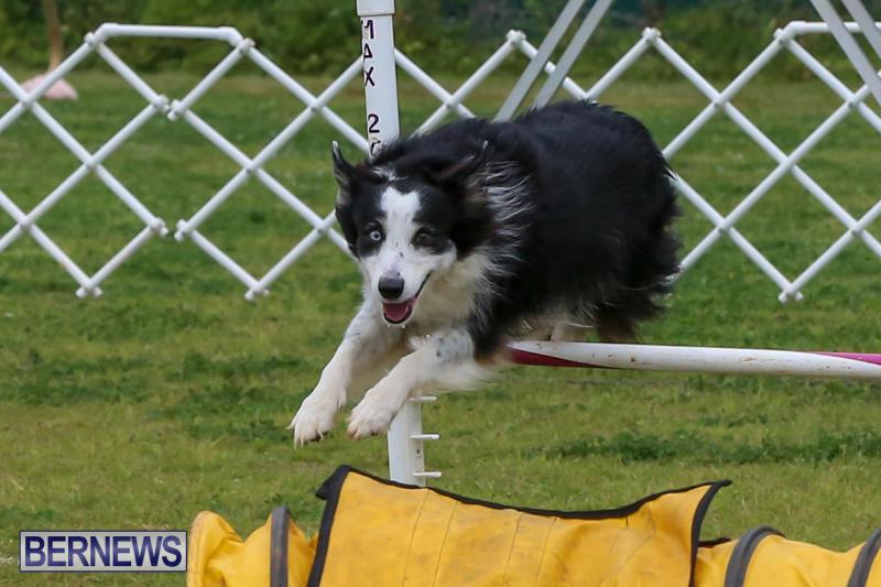 Dog-Agility-Trials-Bermuda-March-28-2015-43