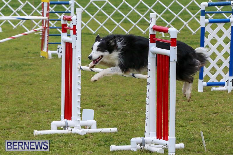 Dog-Agility-Trials-Bermuda-March-28-2015-44