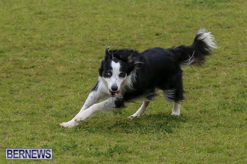 Dog-Agility-Trials-Bermuda-March-28-2015-45
