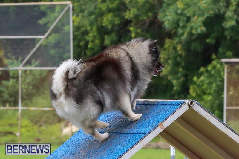 Dog-Agility-Trials-Bermuda-March-28-2015-47