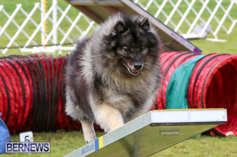 Dog-Agility-Trials-Bermuda-March-28-2015-55