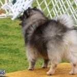 Dog Agility Trials Bermuda, March 28 2015-57