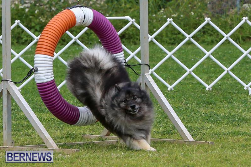 Dog-Agility-Trials-Bermuda-March-28-2015-63