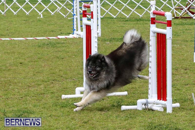 Dog-Agility-Trials-Bermuda-March-28-2015-64