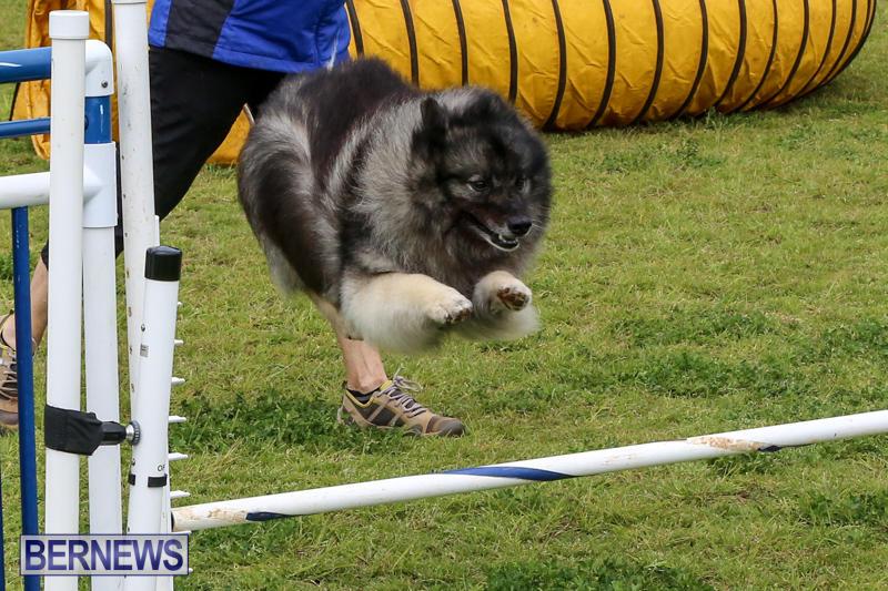 Dog-Agility-Trials-Bermuda-March-28-2015-66