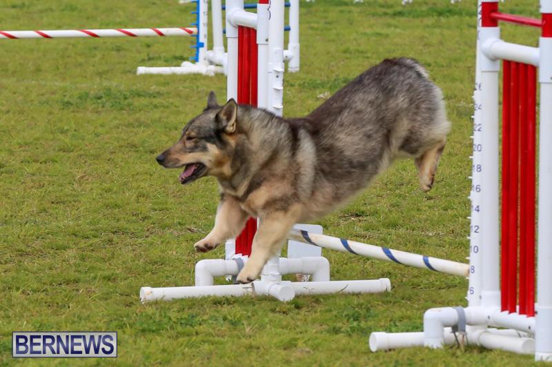 Dog-Agility-Trials-Bermuda-March-28-2015-72