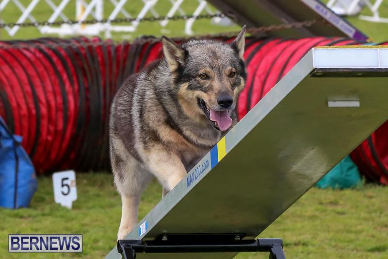 Dog-Agility-Trials-Bermuda-March-28-2015-75