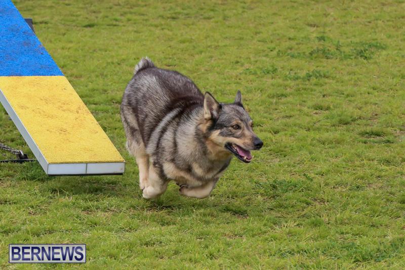 Dog-Agility-Trials-Bermuda-March-28-2015-76