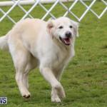 Dog Agility Trials Bermuda, March 28 2015-8