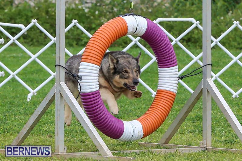 Dog-Agility-Trials-Bermuda-March-28-2015-81