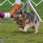Dog Agility Trials Bermuda, March 28 2015-82
