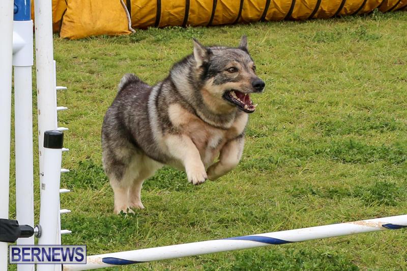 Dog-Agility-Trials-Bermuda-March-28-2015-84