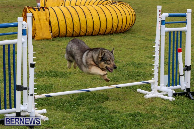 Dog-Agility-Trials-Bermuda-March-28-2015-85