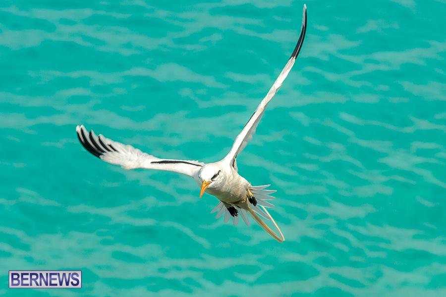 668-Longtail Bermuda Generic