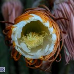 Night Blooming Cereus Flowers Bermuda, June 24 2015-1