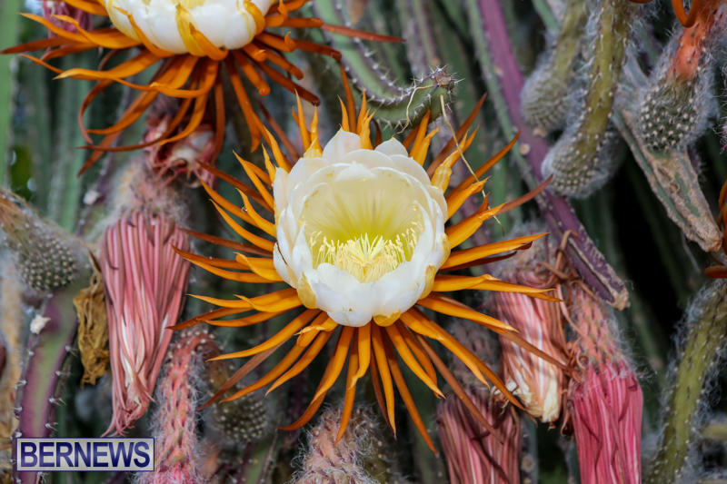 Night-Blooming-Cereus-Flowers-Bermuda-June-24-2015-11