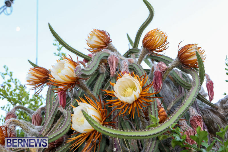 Night-Blooming-Cereus-Flowers-Bermuda-June-24-2015-12